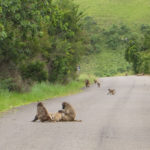 baboons-chilling