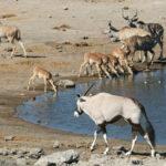 Etsoha-Safari