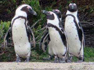 African-Penguins-Bettys-Bay