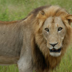 Lion-at-Addo