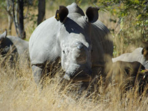 Rhinos-at-Big-Cave-Camp