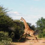 Giraffe-and-Dinokeng